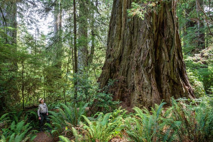 Man looking at redwood tree