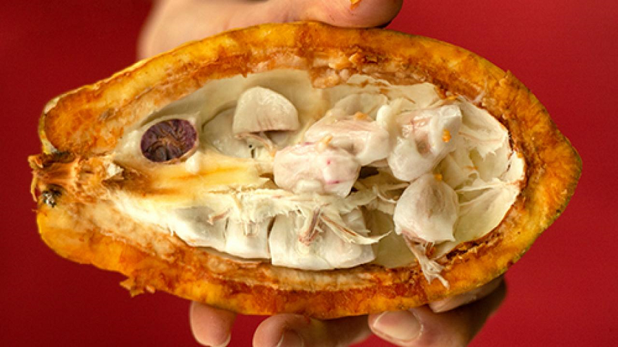"The pulp or ""baba"" inside a cracked ripe cacao pod is tangy and sweet with flavors of tropical fruit."