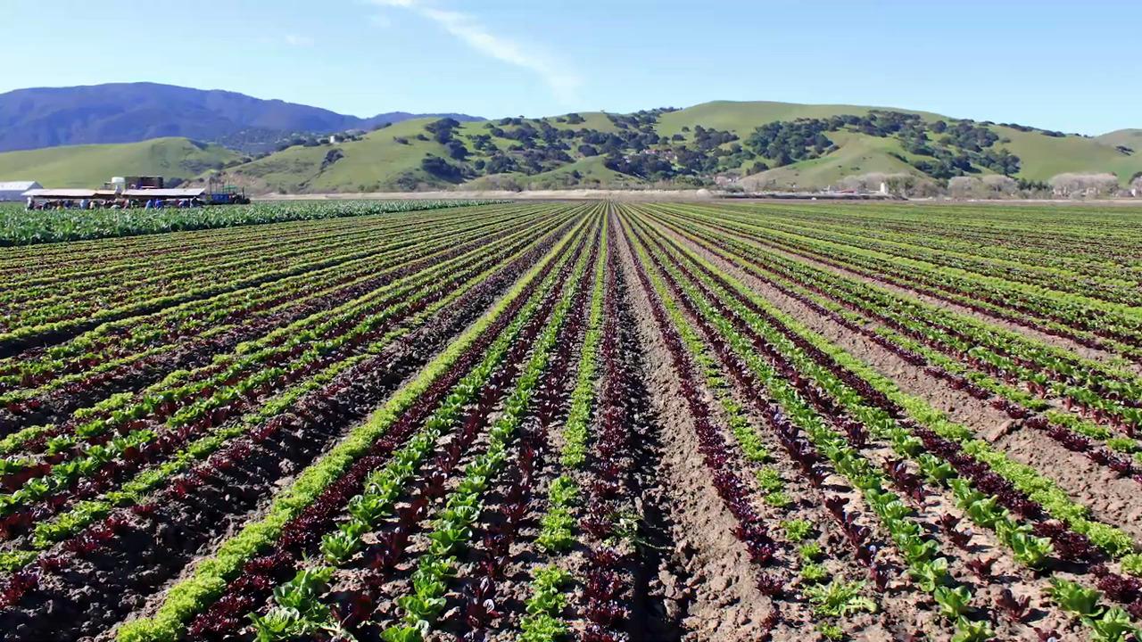 Field of crop with weeds