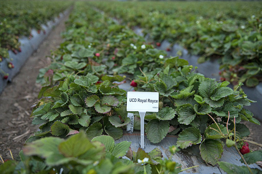 A section where the UC Davis Royal Royce strawberries are grown in Salinas, California. (photo Hector Amezcua/UC Davis)