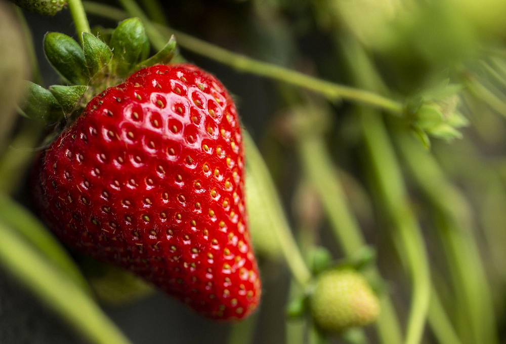The new strawberry variety Moxie is showing yield increases as much as 29 percent over previous UC varieties. (photo Hector Amezcua/UC Davis)