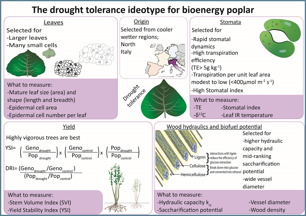 Graphics of poplar drought ideotype