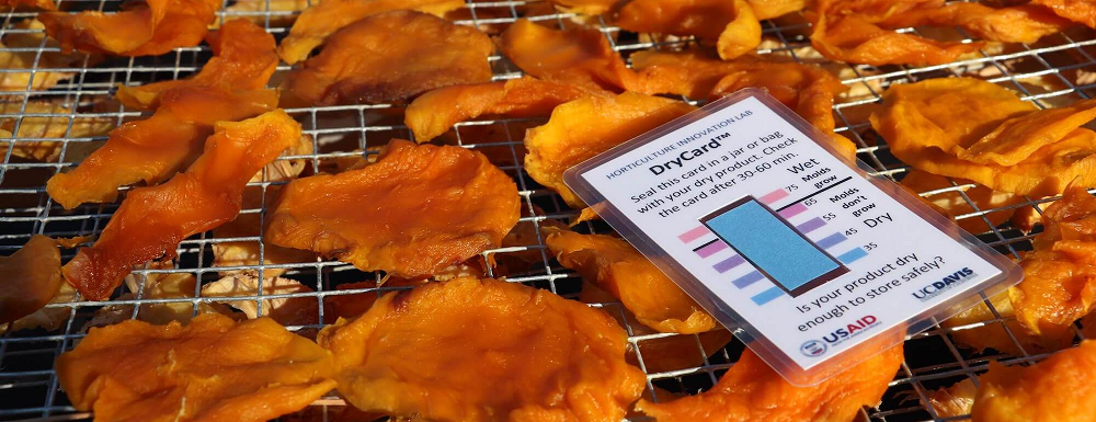 The DryCard changes color to indicate whether dried foods are dry enough to store safely, to help reduce the risk of mold growth. (Brenda Dawson/UC Davis)