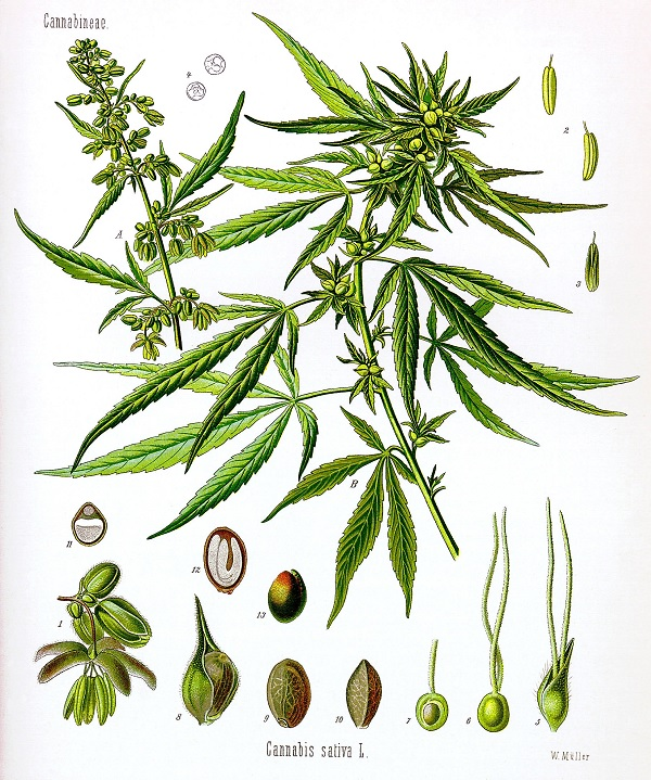 Cannabis sativa drawing