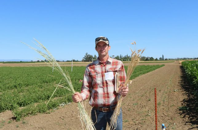 Mark Lundy, Plant Sciences faculty at UC Davis, and Cooperative Extension specialist, holds kernza in his right hand (photo left), and traditional wheat in his left hand (photo right). (photo: Ann Filmer/UC Davis)