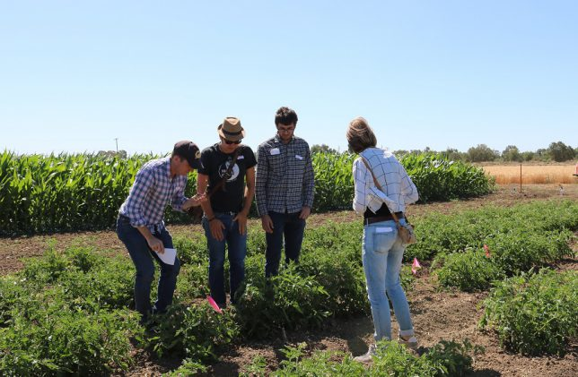 Participants at the Russell Ranch Field Day examine their tomato plants — a UC Berkeley project with Tim Bowles. (photo: Ann Filmer/UC Davis)
