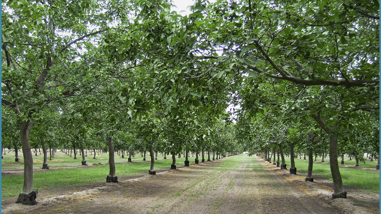 Mature walnut orchard