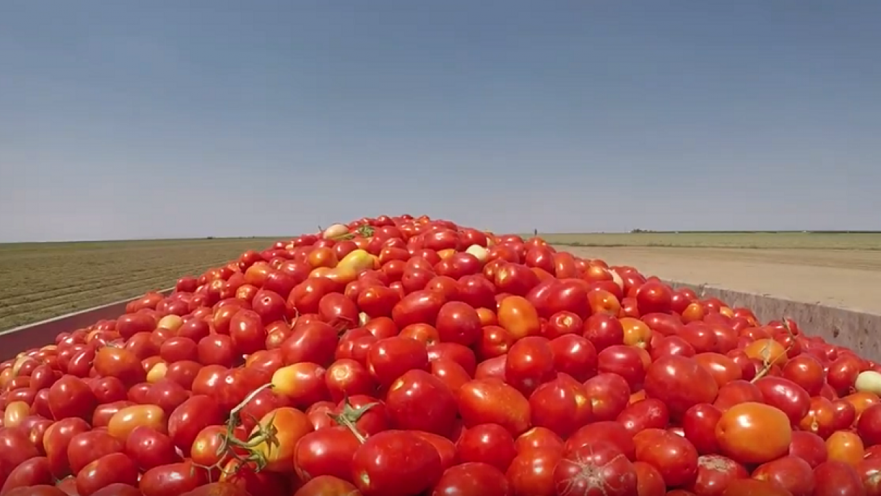 Processing tomatoes in truck