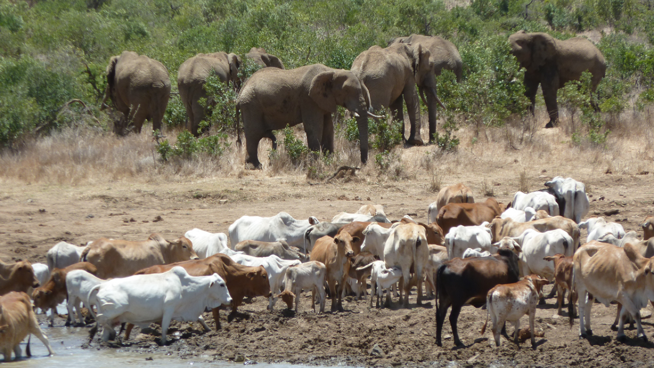 Elephants and cattle in Africa. (photo Dino Martins)