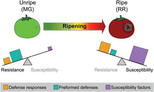 A visual model of how the balancing-act between components contributing to disease resistance and susceptibility changes during the ripening process.
