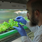 Graduate student Cristian Jacob, in Maeli Melotto's lab, handling a genetically diverse population of lettuce plants contaminated with Salmonella enterica and E. coli 0157:H7.
