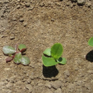 Weed seedlings in field