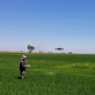Telha Rehman, Ph.D. student in Bruce Linquist's lab, using a drone in research trials on rice production. (photo Bruce Linquist/UC Davis)