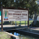 Rice Experiment Station, Biggs, California. (photo Ann Filmer/UC Davis)