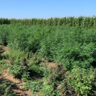 Hemp in breeding plots at UC Davis in late August 2019. (Charlie Brummer/UC Davis)