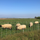 Sheep graze on winter cover crop at Russell Ranch, UC Davis. (photo Alda Pires)