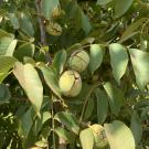 'UC Wolfskill' walnut tree with fruit