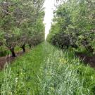 an orchard with a thick understory of cover crop vegetation